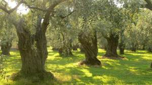 Olive garden-like Gethsemene